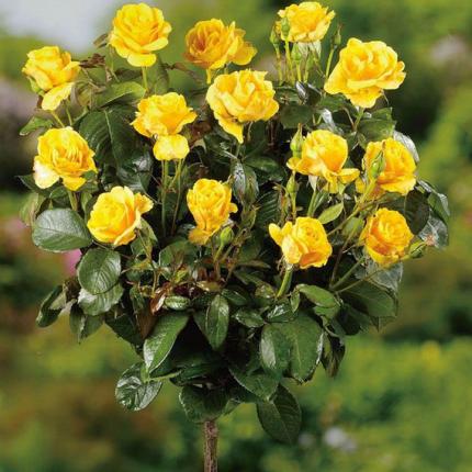 Троянда Жовта лялька 2 прививки