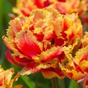 Тюльпаны Махровые+Бахромчатые