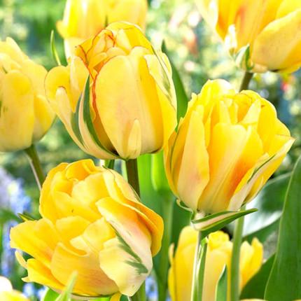 Тюльпан махровий Akebono 12/+