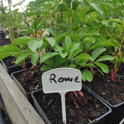 Пион травянистый патио низкорослый Rome (контейнер 2.5л)