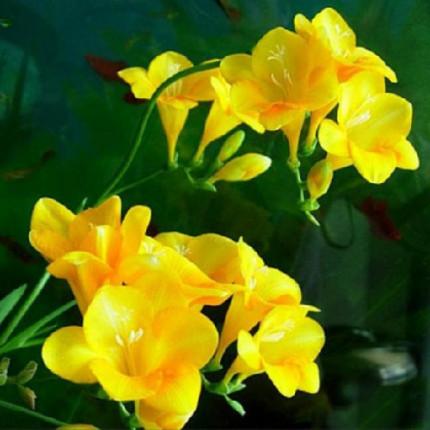 Фрезия простая Yellow
