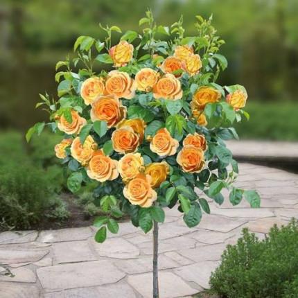 Роза штамбовая Tantau Кендллайт (Candlelight) 1 прививка