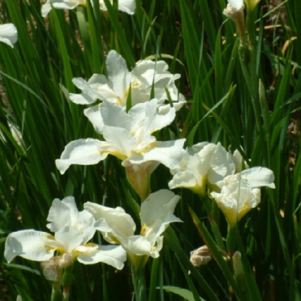 Ирис sibirica White Swirl