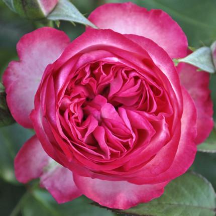 Роза штамбовая Розовый Лед (Pink Ice) 2 прививки