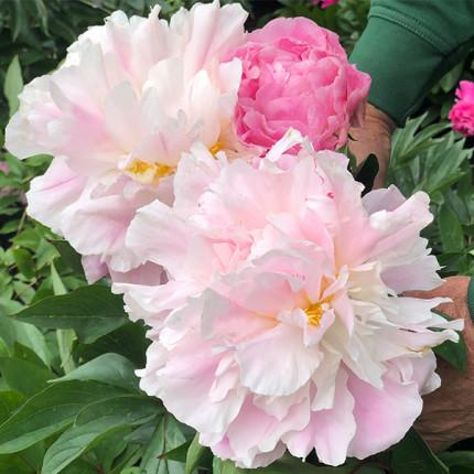 Півонія трав'яниста Catharina Fontyn (Гігантська квітка)