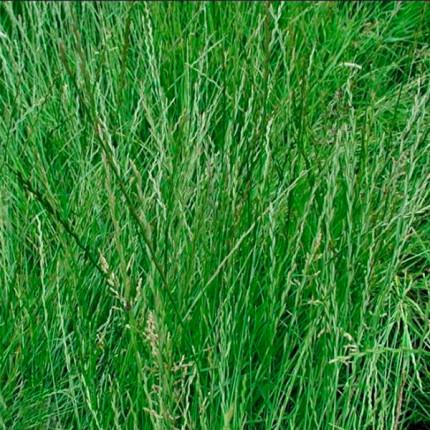 Трава Райграсс однолетний  1кг