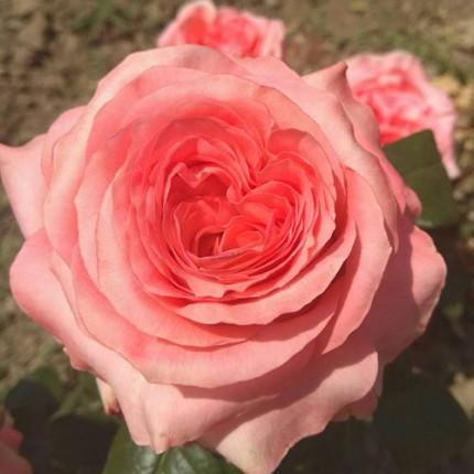 Троянда ч/г Ноблес (контейнер)