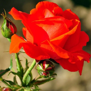 Троянди Чайно-Гібридні в контейнері (горщик)
