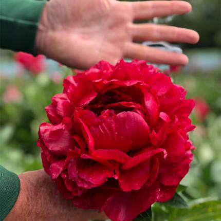 Пион травянистый Henry Bockstoce  (Гигантский цветок)