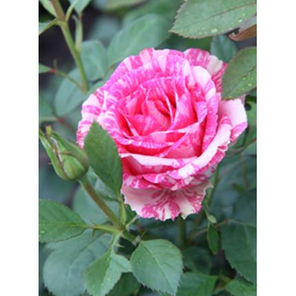 Троянда паркова Пападжена клас А