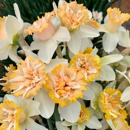Нарцисс корончатый с махровой короной Petit Four 12/14 (каперс)