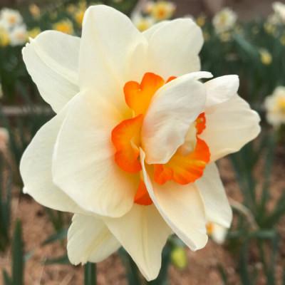 Нарцисс корончатый с махровой короной Flower Drift 12/14 (каперс) - оптом