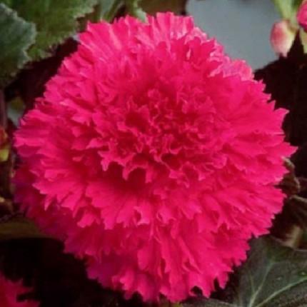 Бегония Фимбриата Розовая