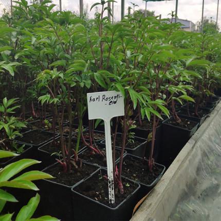 Пион травянистый Karl Rosenfield (контейнер 2.5л)