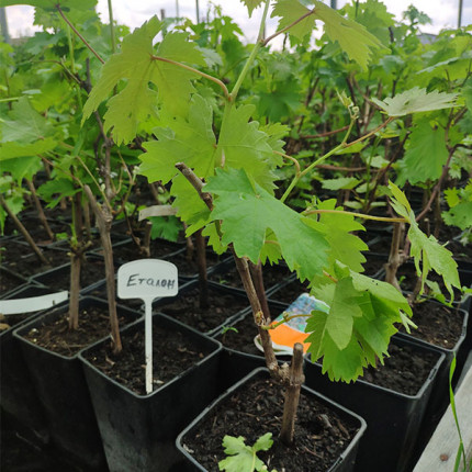 Еталон виноград (контейнер 2л)