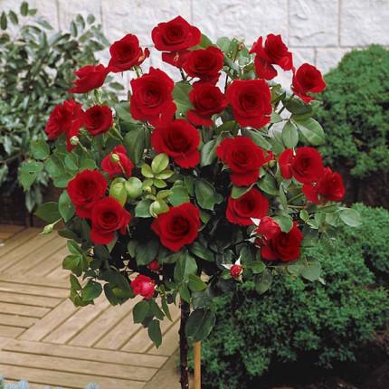 Роза штамбовая Блэк Меджик 2 прививки