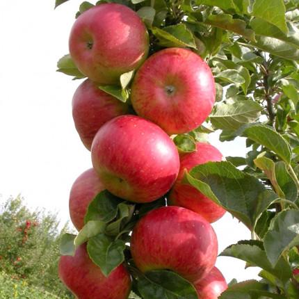 Яблоня колоновидная Останкино 1 класс