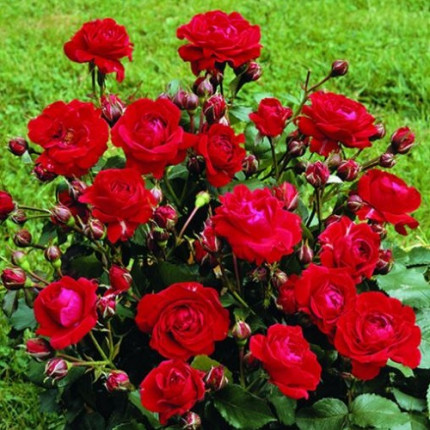 Троянда бордюрна Червона клас АА