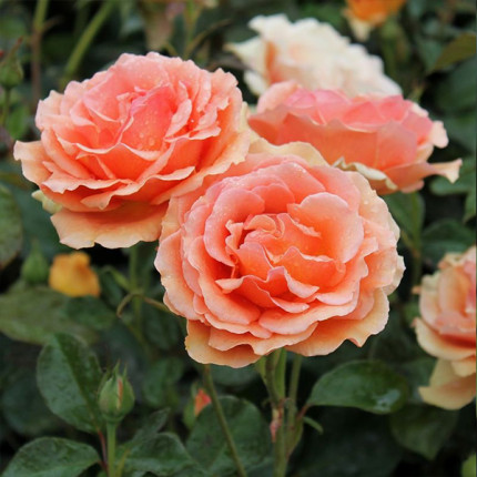Роза штамбовая Tantau Ашрам 2 прививки