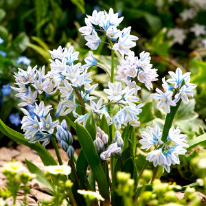 Пушкиния Blue (Scilloides)