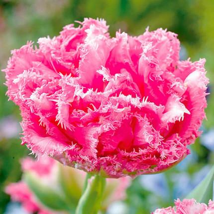 Тюльпан бахромчатый Crispion Love 12/+