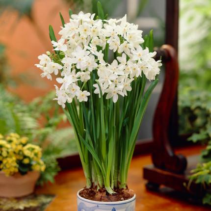 Нарцисс мультицветковый Paperwhite 13/15 (каперс)