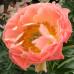 Пион травянистый Coral Sunset - оптом