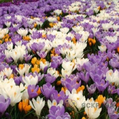 Крокус Ботанический - 1 5/7 500шт шоубокс - оптом