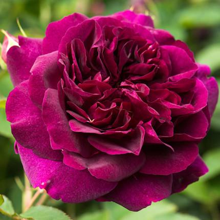 Роза штамбовая Дарси Бассел 2 прививки