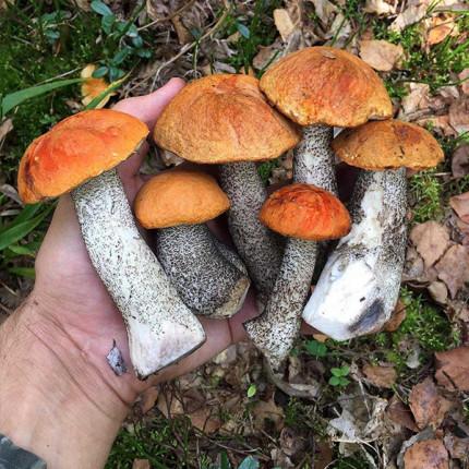 Подосиновик обыкновенный 50 г (мицелий грибов)