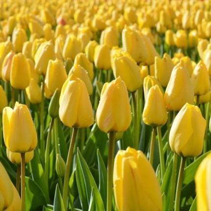 Тюльпан гибрид Дарвина Golden Parade 12/+