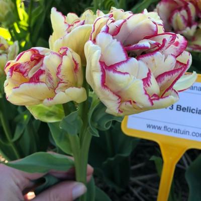 Тюльпан Махровый + Многоцветковый Belicia 12/+ - оптом