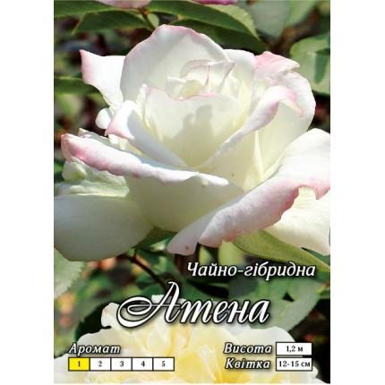 Троянда ч/г Атена (контейнер)