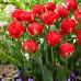 Тюльпан Махровый Pamplona 10/11 - оптом