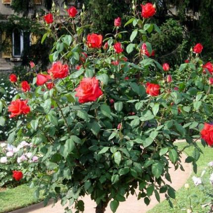 Троянда штамбова Корвет 1 прививка