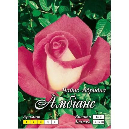 Троянда ч/г Амбіанс (контейнер)