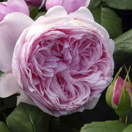 Троянда штамбова Tantau Гартеyтраум (Gartentraume) 1 прививка