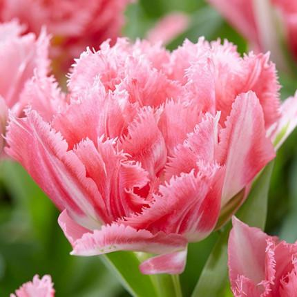 Тюльпан махровий + оторочений Crispion Sweet 12/+