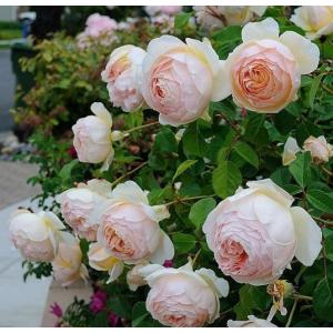 Троянди Англійські