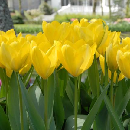 Тюльпан гібрид Фостера Golden Purissima 12/+