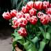 Тюльпан Бахромчатый Canasta 10/11 - оптом