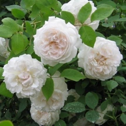 Троянда штамбова Сяюча наречена 1 прививка