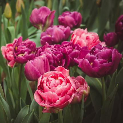Тюльпан Махровый + Многоцветковый Granda 10/11