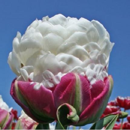 Тюльпан махровий Ice Cream 12/+
