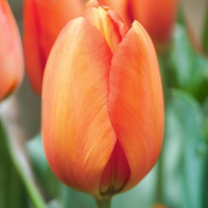 Тюльпан гибрид Дарвина Orange Ballon 12/+