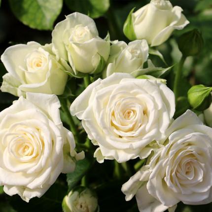 Роза штамбовая Вайт Леди 2 прививки