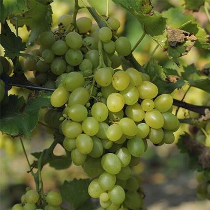 Виноград Аркадія (упаковка-пакет)
