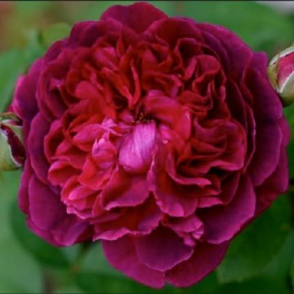 Троянда англійська Шекспір клас А