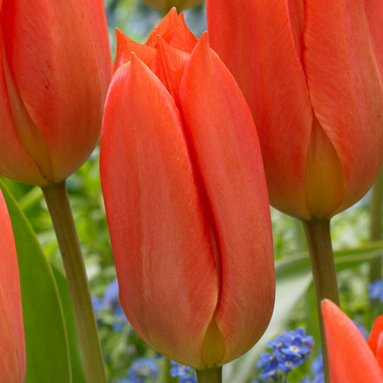 Тюльпан гибрид Фостера Orange Breeze 10/11