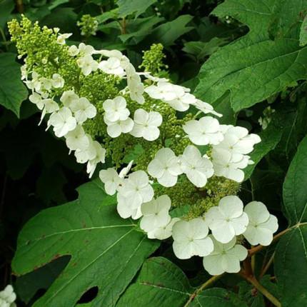 Гортензия Quercifolia (дуболистная)